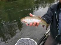 Dry fly fishing, Mckenzie Green Caddis, fishing guide