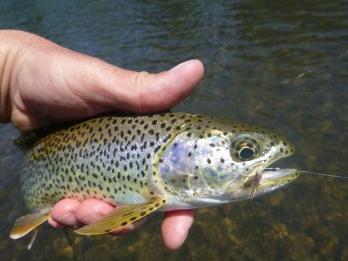 Willamette river trout